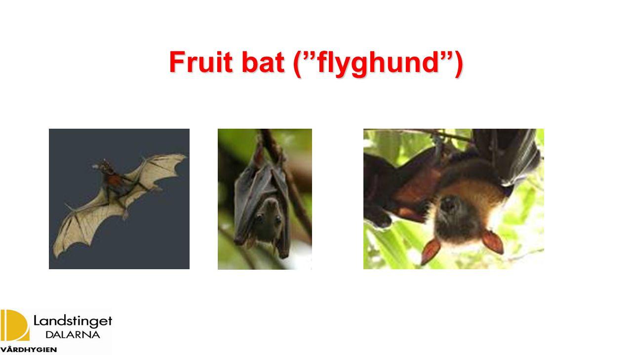 Fruit bat ( flyghund )