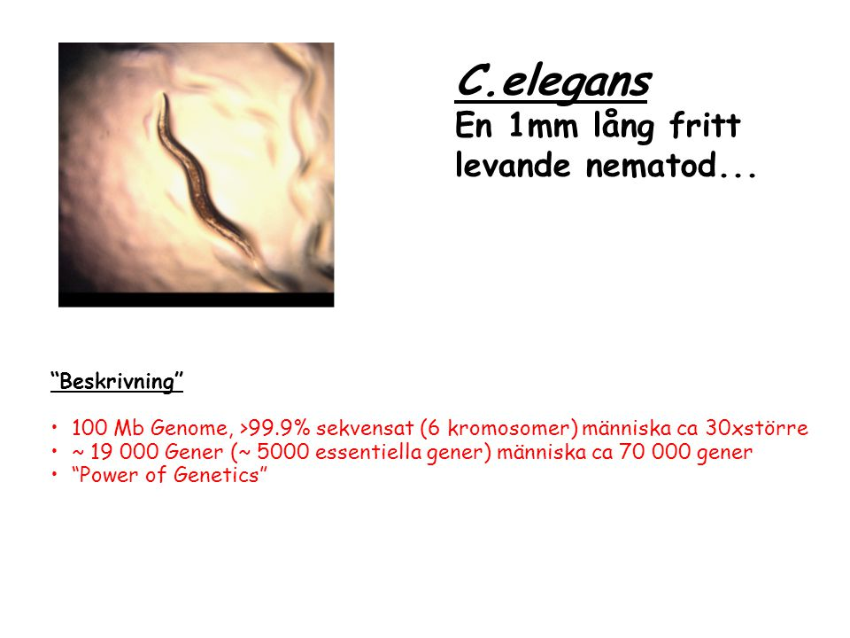 C.elegans En 1mm lång fritt levande nematod... Beskrivning