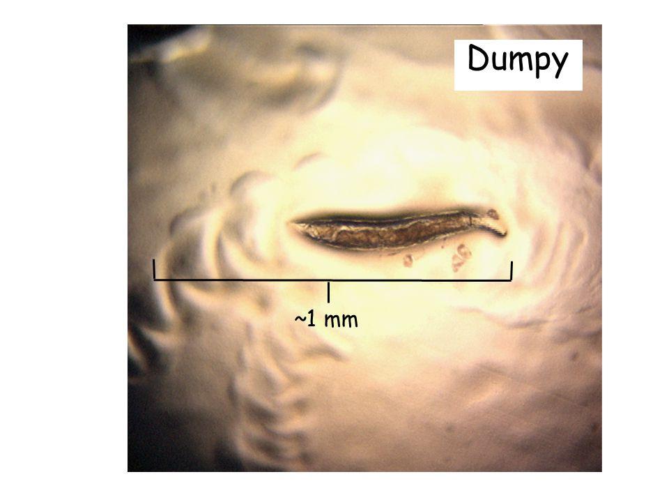 Dumpy ~1 mm. Tänkte bara visa hur några mutanter ser ut.