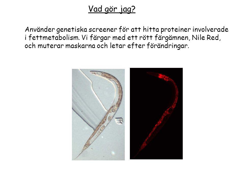 Vad gör jag Använder genetiska screener för att hitta proteiner involverade. i fettmetabolism. Vi färgar med ett rött färgämnen, Nile Red,