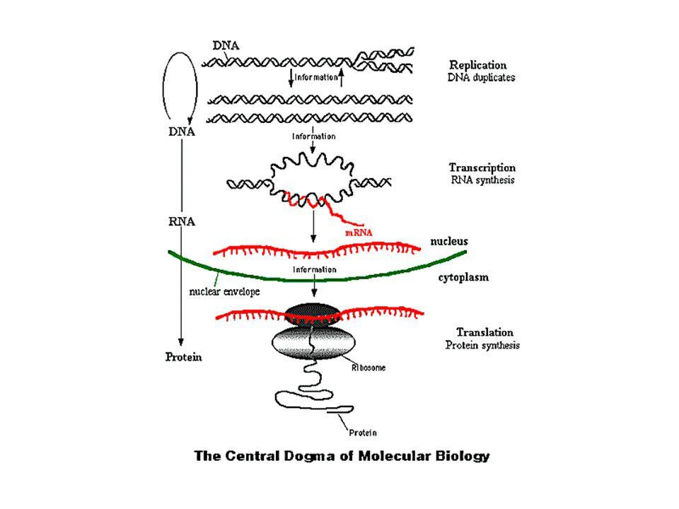 Den centrala dogmen i molekylär biologi brukar detta kallas