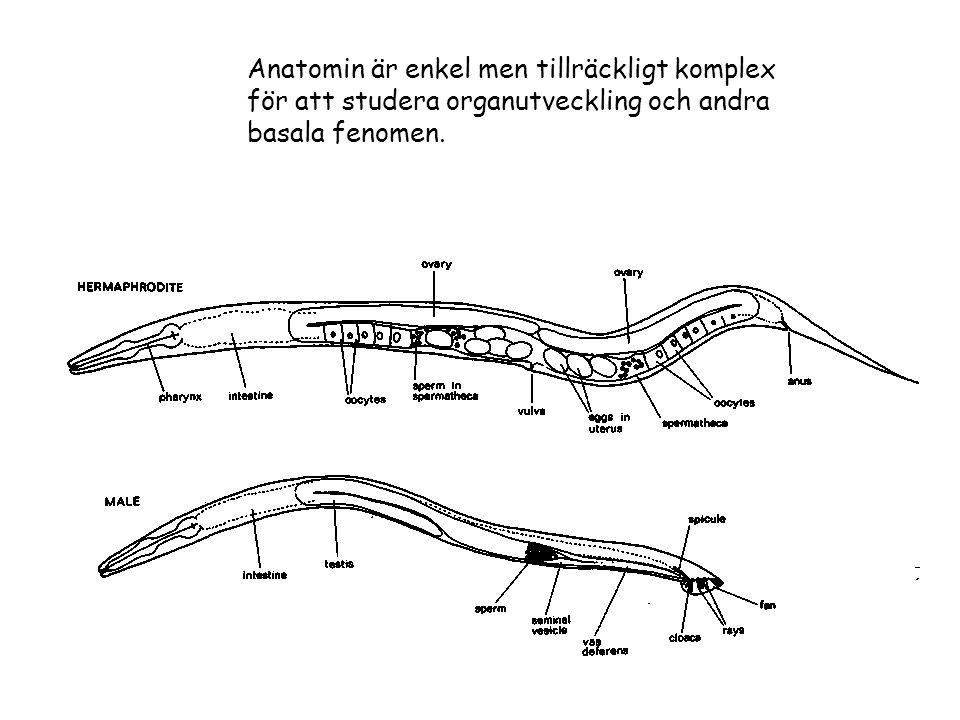 Anatomin är enkel men tillräckligt komplex