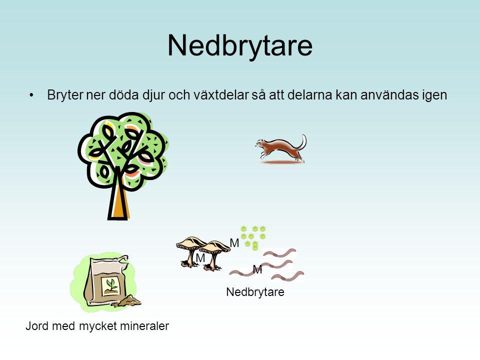 Nedbrytare Bryter ner döda djur och växtdelar så att delarna kan användas igen. M. M. M. Nedbrytare.
