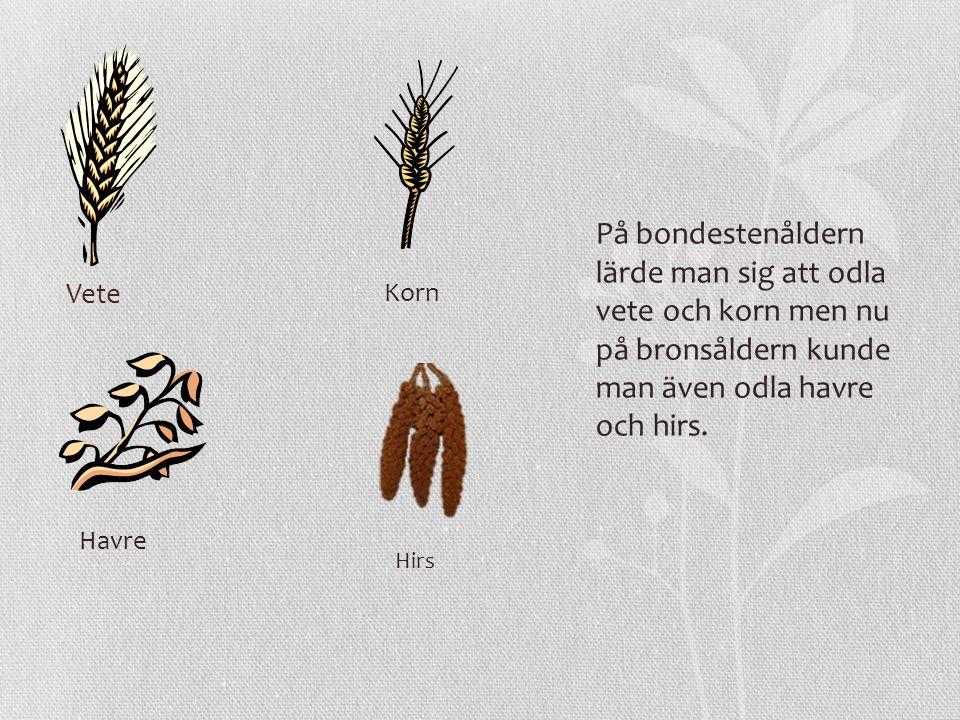 På bondestenåldern lärde man sig att odla vete och korn men nu på bronsåldern kunde man även odla havre och hirs.