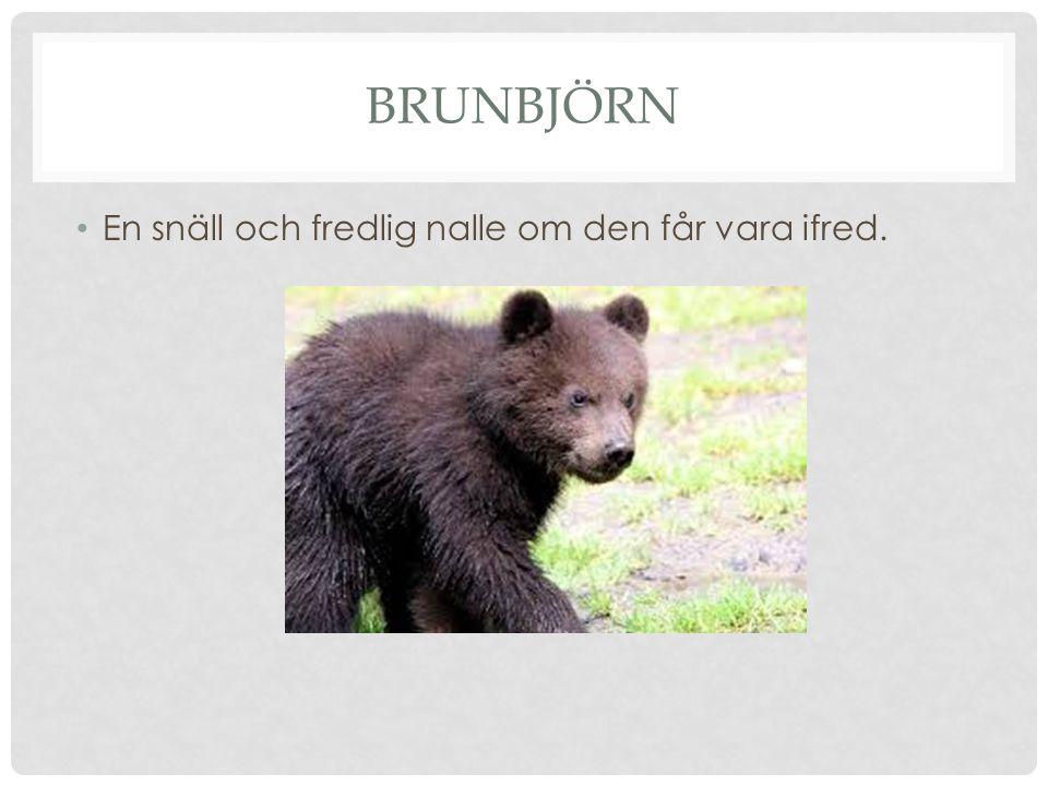 brunbjörn En snäll och fredlig nalle om den får vara ifred.