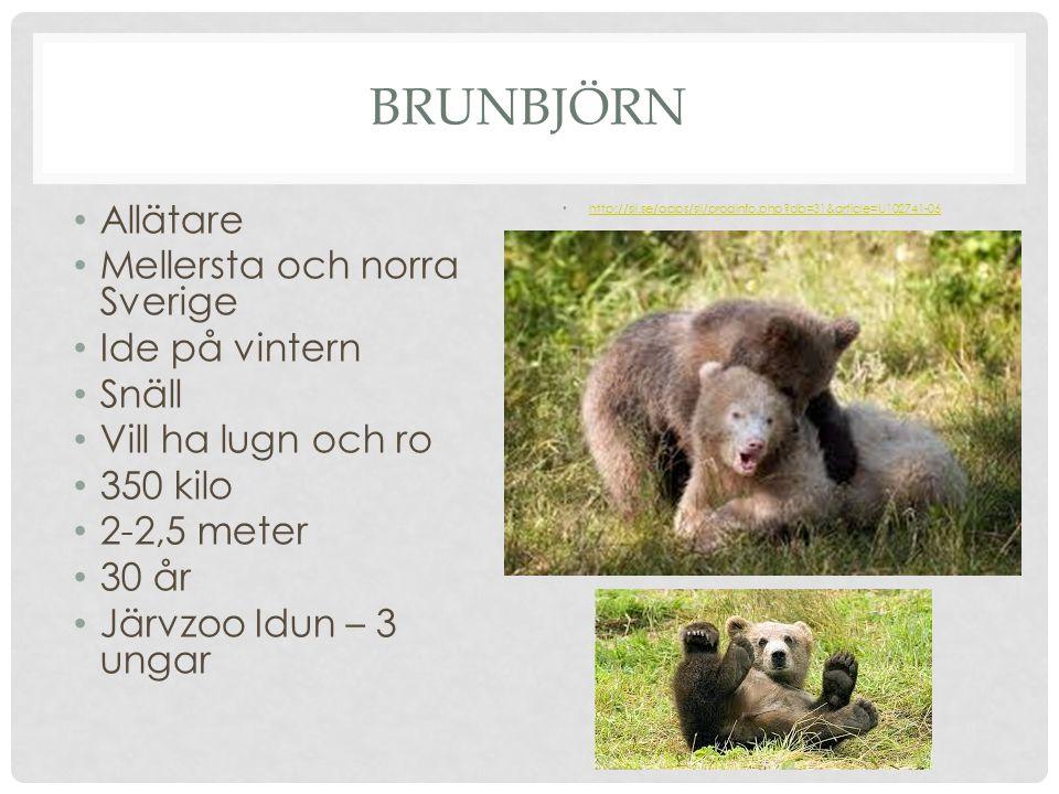 Brunbjörn Allätare Mellersta och norra Sverige Ide på vintern Snäll