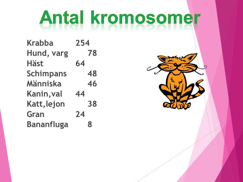 Antal kromosomer Krabba 254 Hund, varg 78 Häst 64 Schimpans 48 Människa 46 Kanin,val 44 Katt,lejon 38 Gran 24 Bananfluga 8