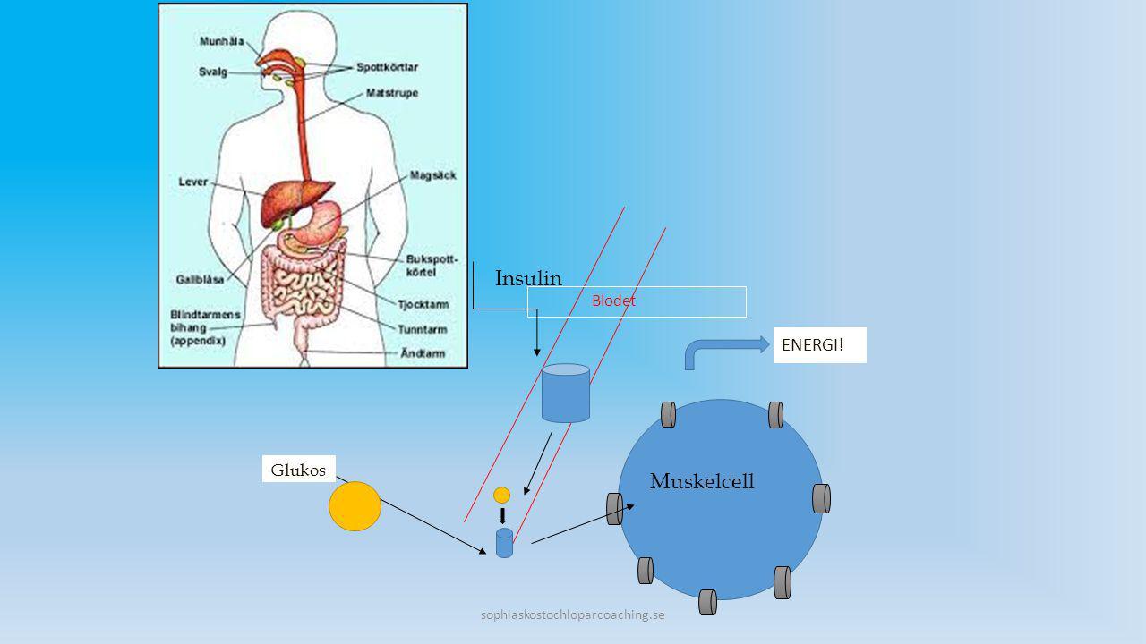Insulin Muskelcell ENERGI! Blodet Glukos