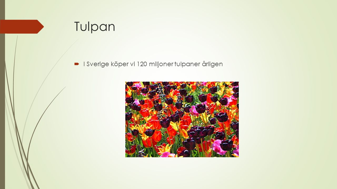 Tulpan I Sverige köper vi 120 miljoner tulpaner årligen