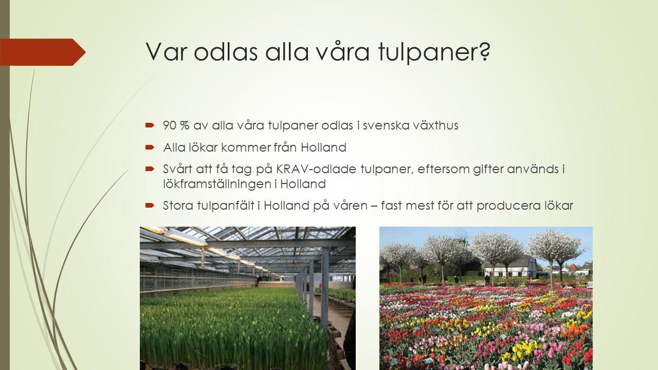 Var odlas alla våra tulpaner
