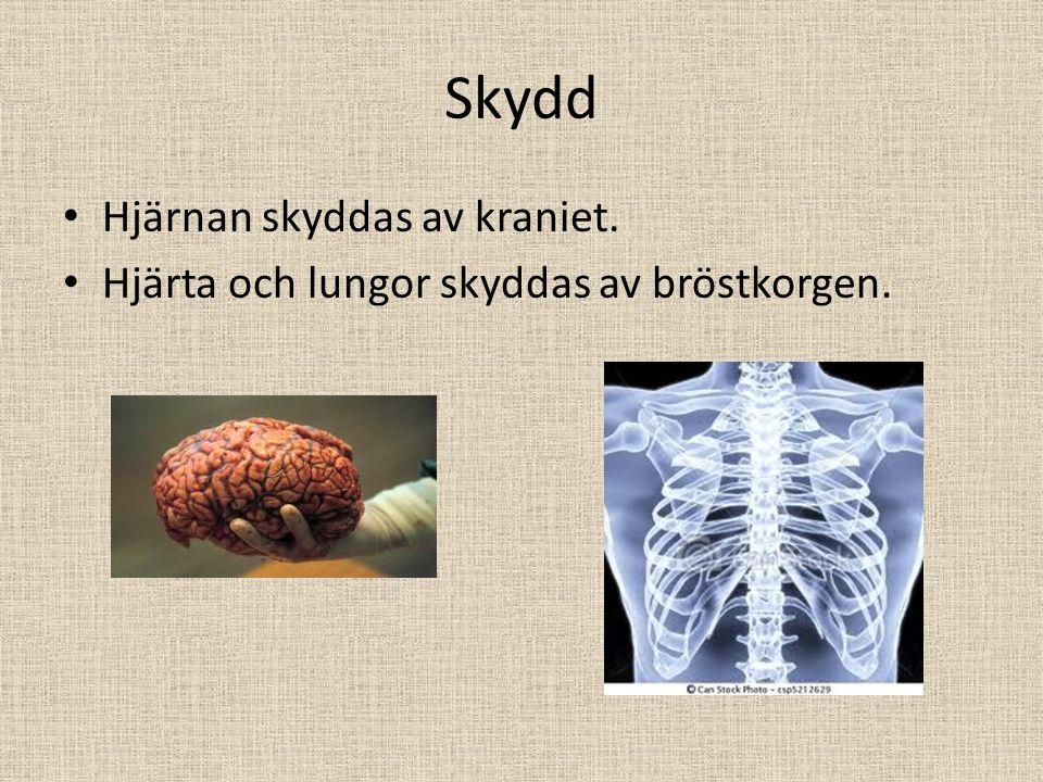 Skydd Hjärnan skyddas av kraniet.