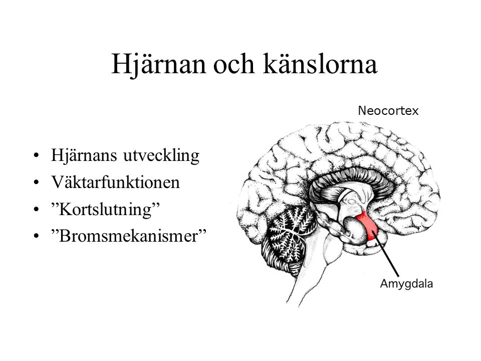 Hjärnan och känslorna Hjärnans utveckling Väktarfunktionen