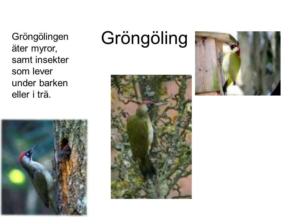 Gröngöling Gröngölingen äter myror, samt insekter som lever under barken eller i trä.