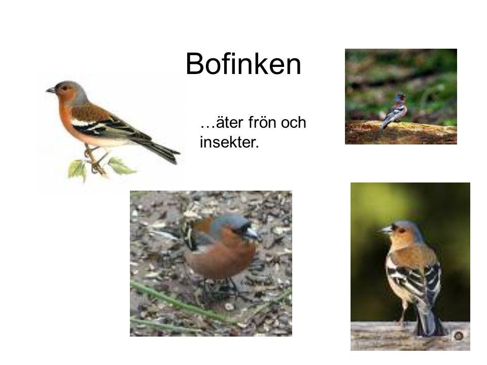Bofinken …äter frön och insekter.