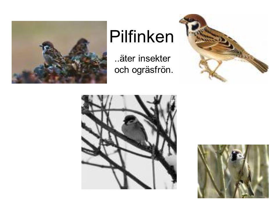 Pilfinken ..äter insekter och ogräsfrön.