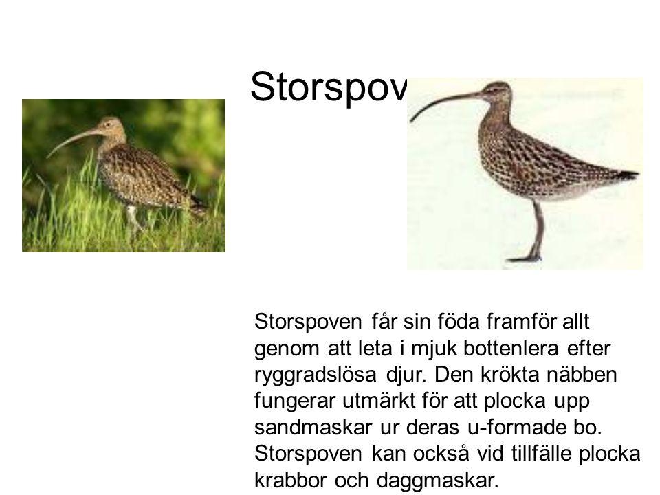 Storspov