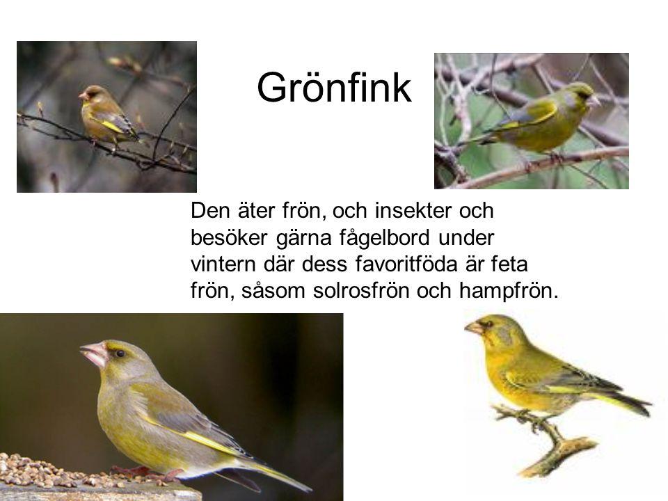 Grönfink Den äter frön, och insekter och besöker gärna fågelbord under vintern där dess favoritföda är feta frön, såsom solrosfrön och hampfrön.