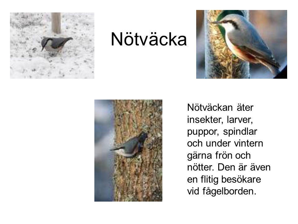 Nötväcka Nötväckan äter insekter, larver, puppor, spindlar och under vintern gärna frön och nötter.