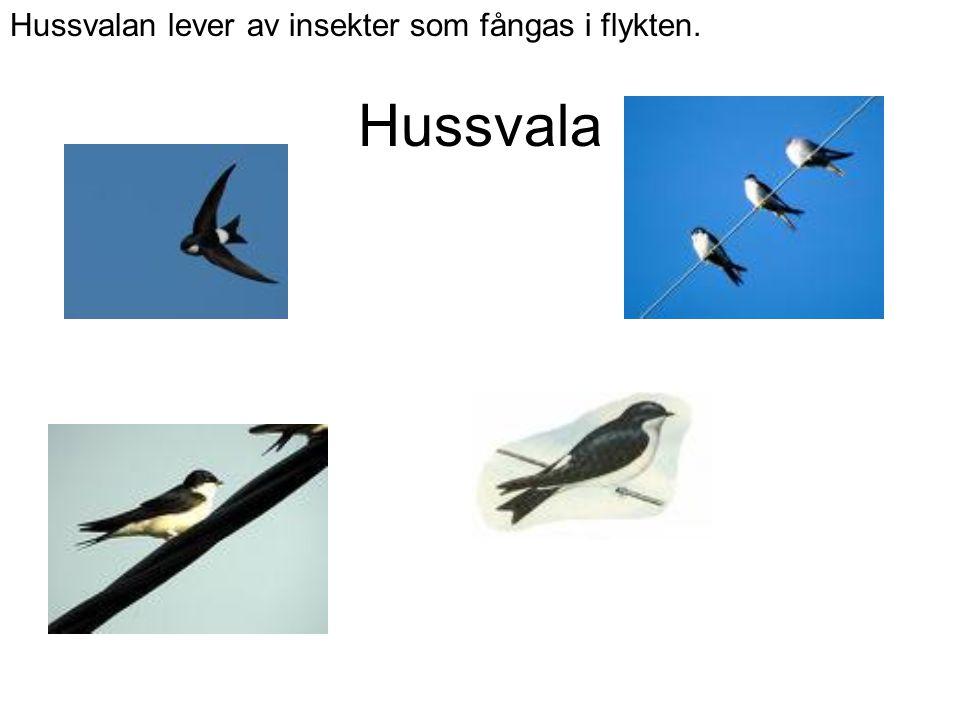 Hussvalan lever av insekter som fångas i flykten.