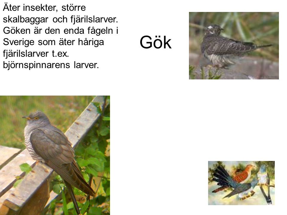 Äter insekter, större skalbaggar och fjärilslarver