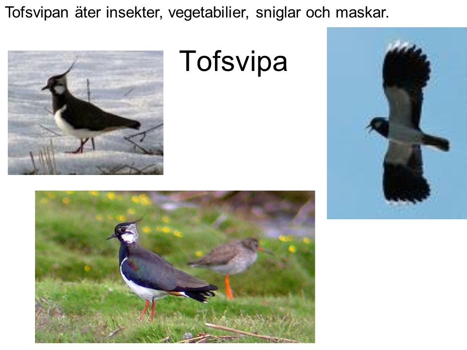 Tofsvipan äter insekter, vegetabilier, sniglar och maskar.