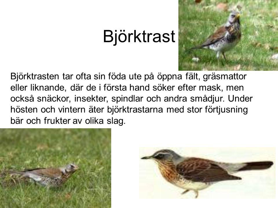 Björktrast