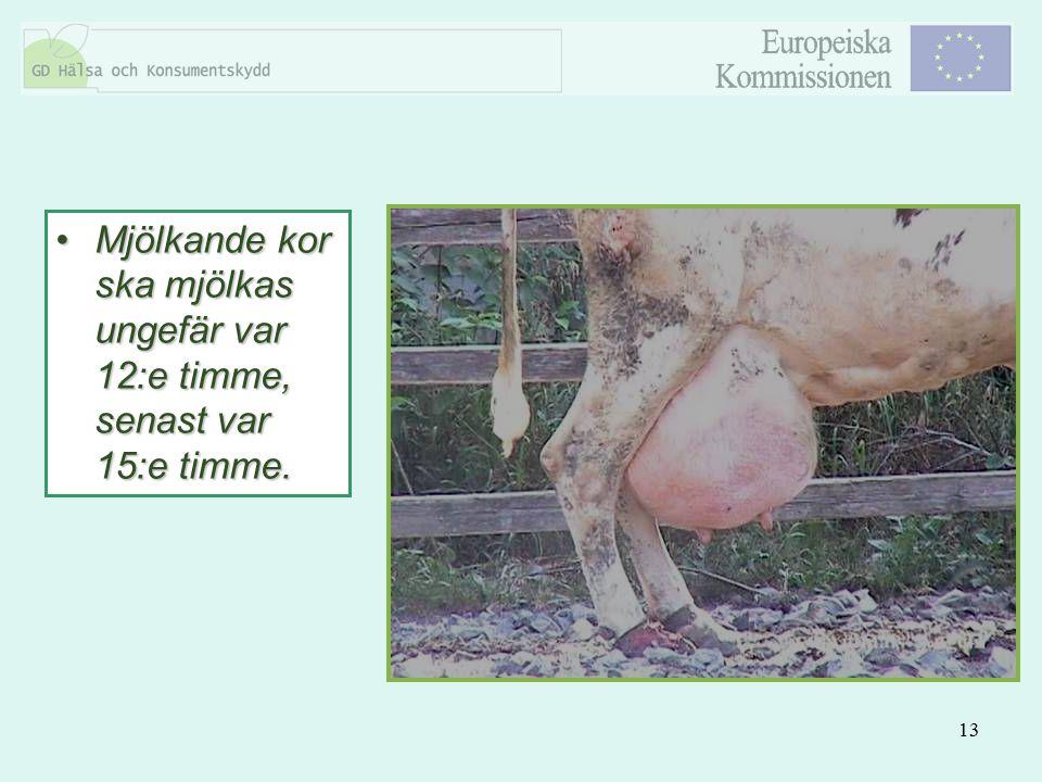 Mjölkande kor ska mjölkas ungefär var 12:e timme, senast var 15:e timme.