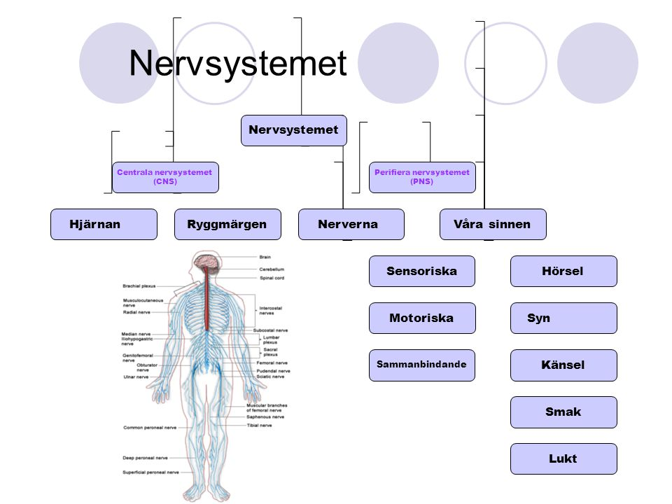 Nervsystemet Nervsystemet Hjärnan Ryggmärgen Nerverna Sensoriska