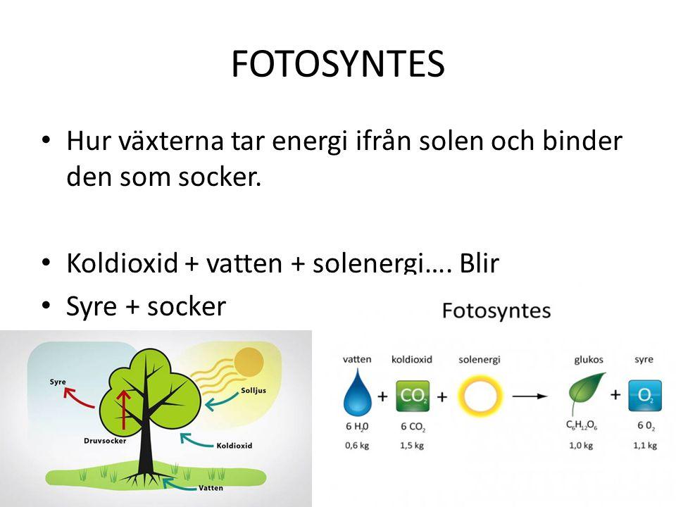 FOTOSYNTES Hur växterna tar energi ifrån solen och binder den som socker. Koldioxid + vatten + solenergi…. Blir.