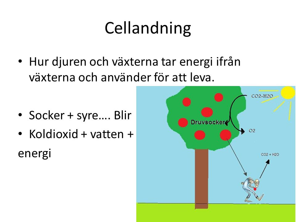 Cellandning Hur djuren och växterna tar energi ifrån växterna och använder för att leva. Socker + syre…. Blir.