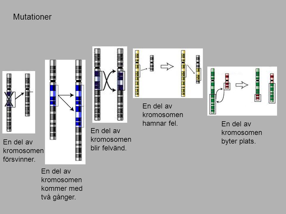 Mutationer En del av kromosomen hamnar fel.