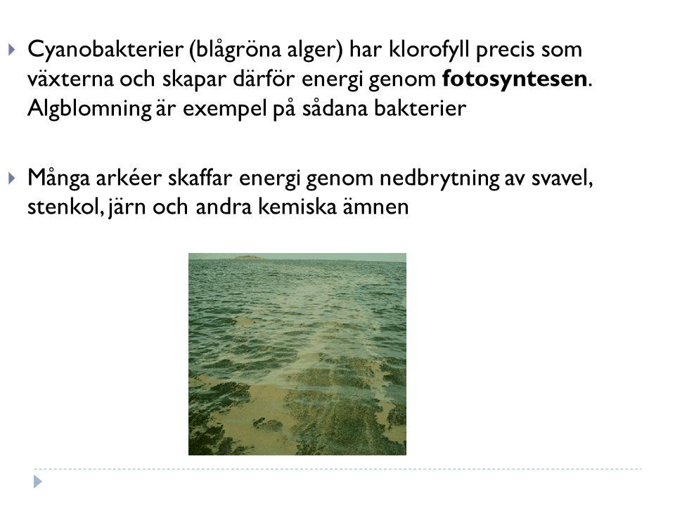 Cyanobakterier (blågröna alger) har klorofyll precis som växterna och skapar därför energi genom fotosyntesen. Algblomning är exempel på sådana bakterier