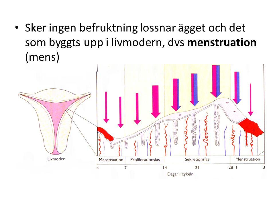 Sker ingen befruktning lossnar ägget och det som byggts upp i livmodern, dvs menstruation (mens)