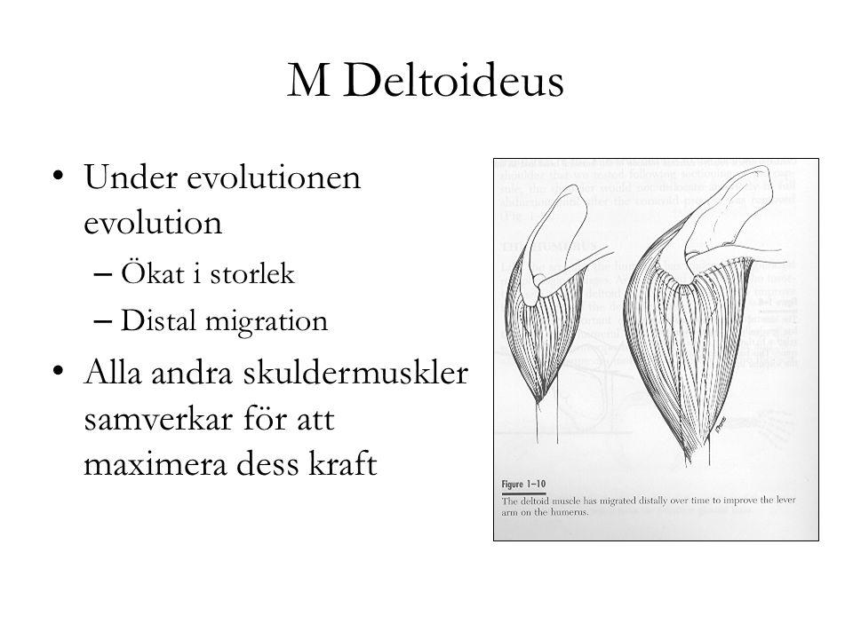 M Deltoideus Under evolutionen evolution