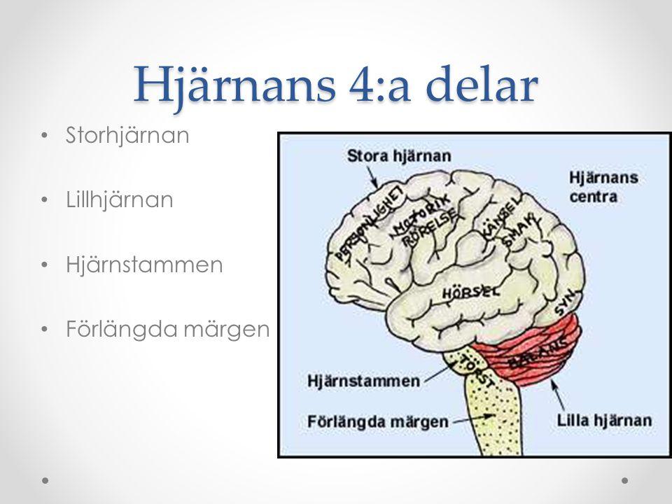 Hjärnans 4:a delar Storhjärnan Lillhjärnan Hjärnstammen