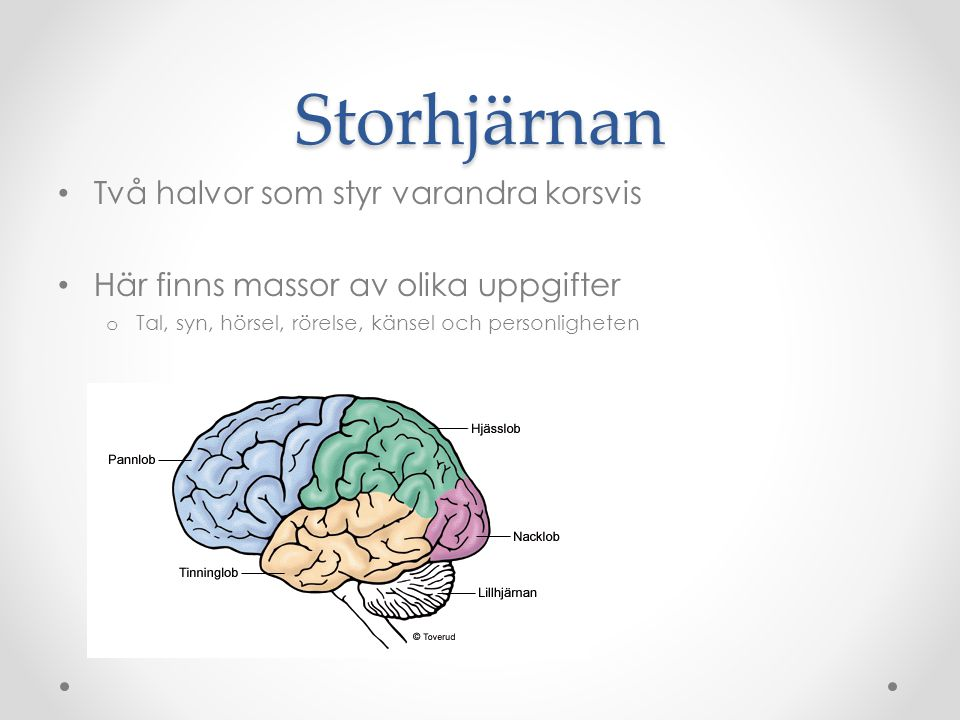 Storhjärnan Två halvor som styr varandra korsvis