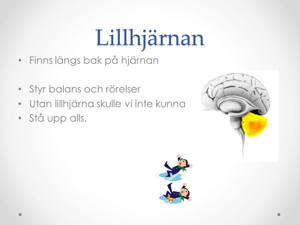 Lillhjärnan Finns längs bak på hjärnan Styr balans och rörelser