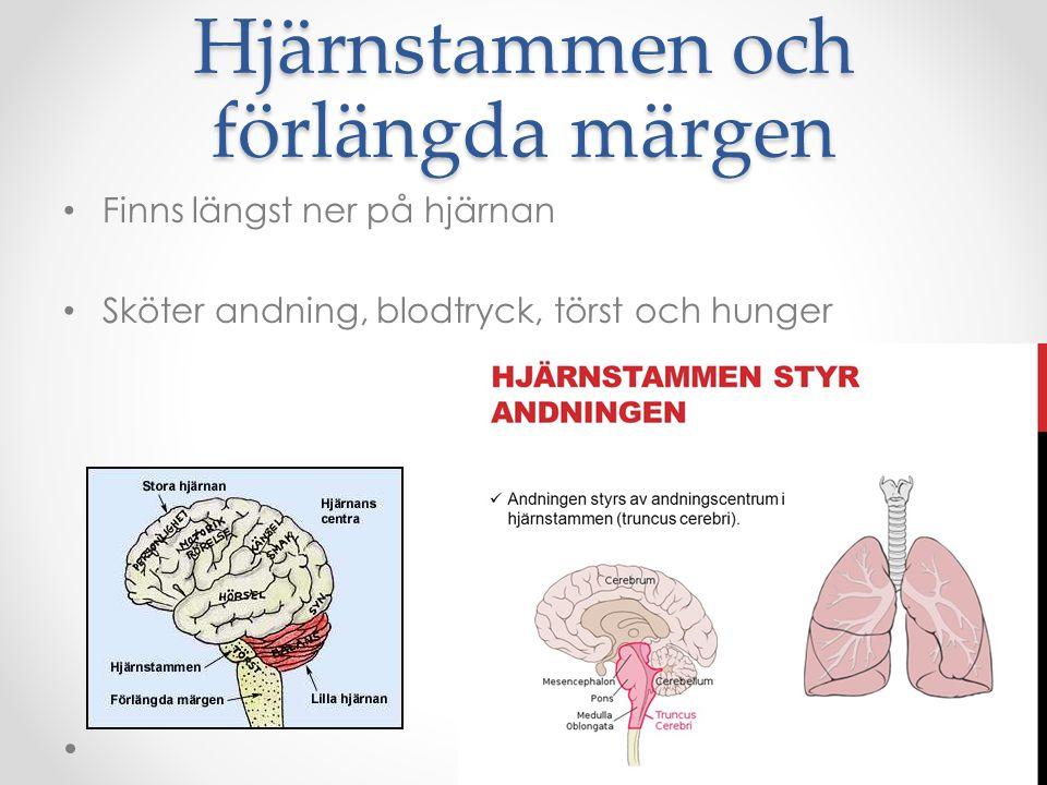 Hjärnstammen och förlängda märgen