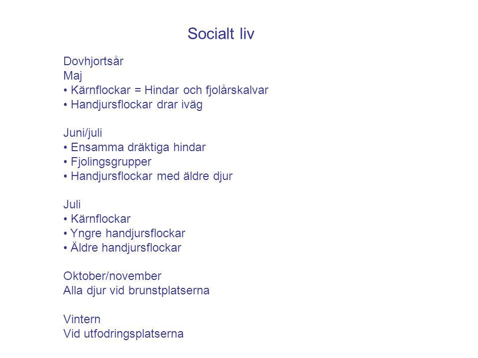 Socialt liv Dovhjortsår Maj Kärnflockar = Hindar och fjolårskalvar