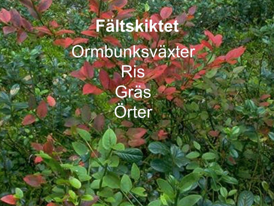 Ormbunksväxter Ris Gräs Örter