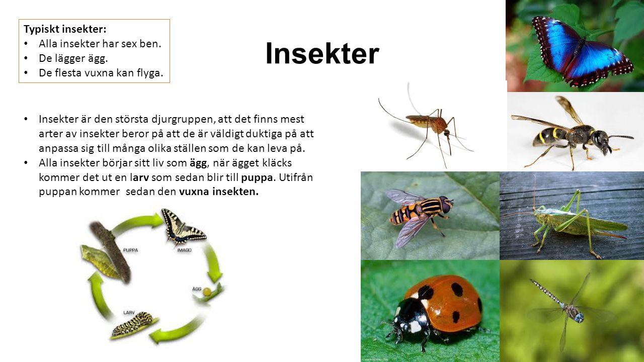 Insekter Typiskt insekter: Alla insekter har sex ben. De lägger ägg.