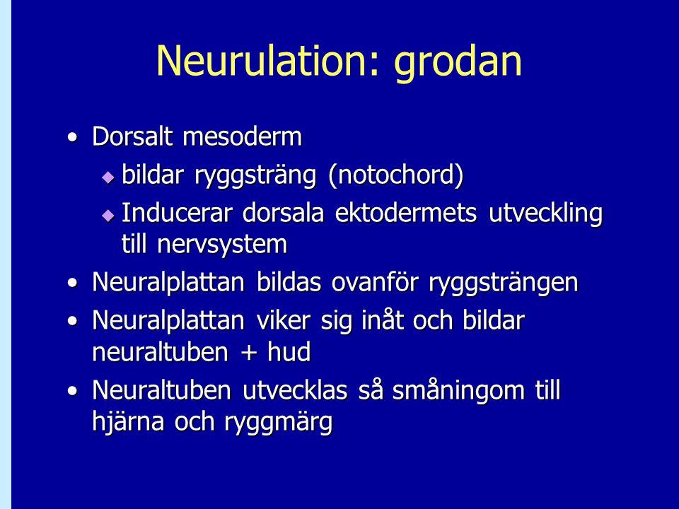 Neurulation: grodan Dorsalt mesoderm bildar ryggsträng (notochord)