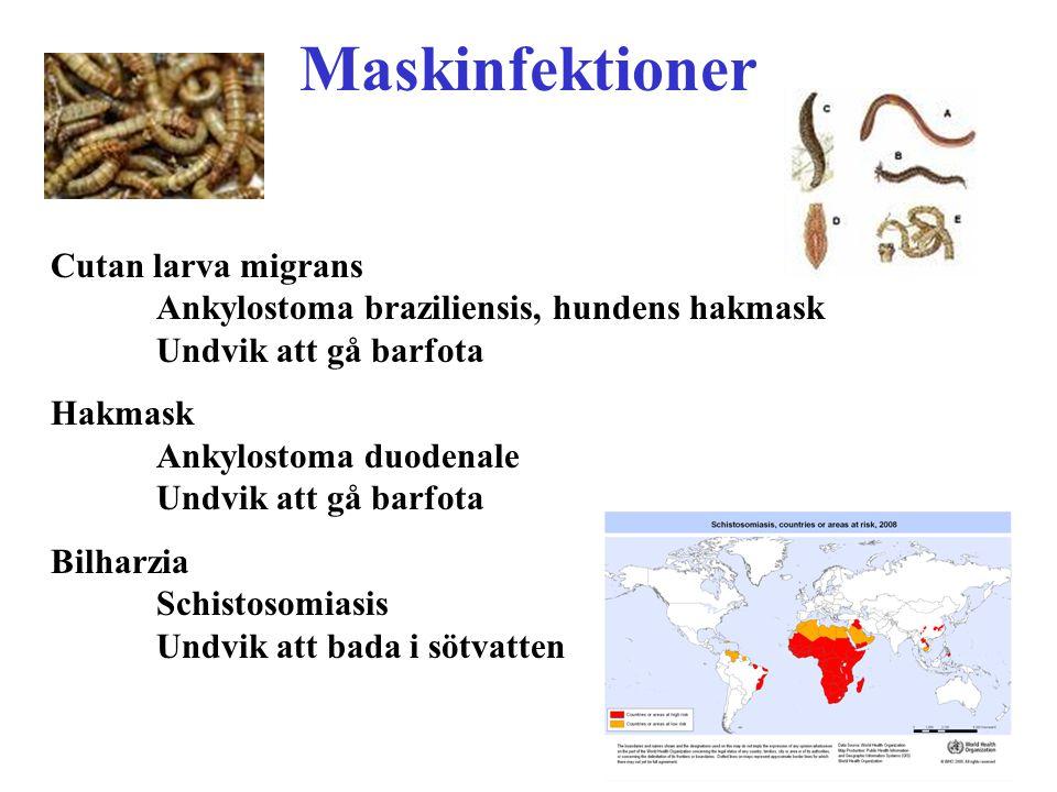Maskinfektioner Cutan larva migrans Ankylostoma braziliensis, hundens hakmask Undvik att gå barfota.