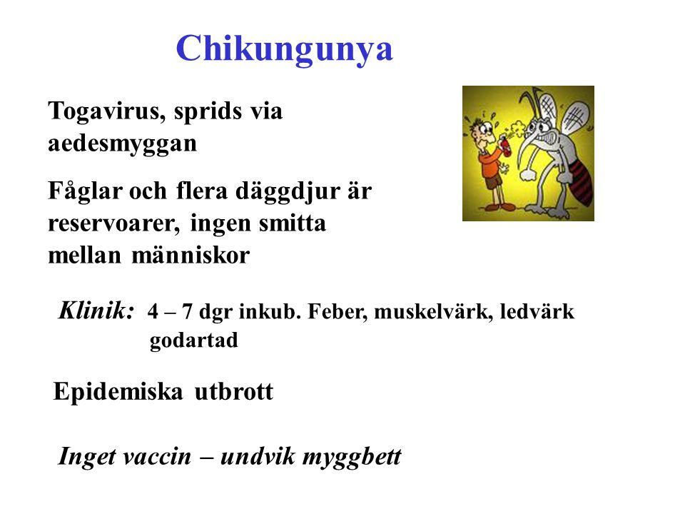 Chikungunya Togavirus, sprids via aedesmyggan