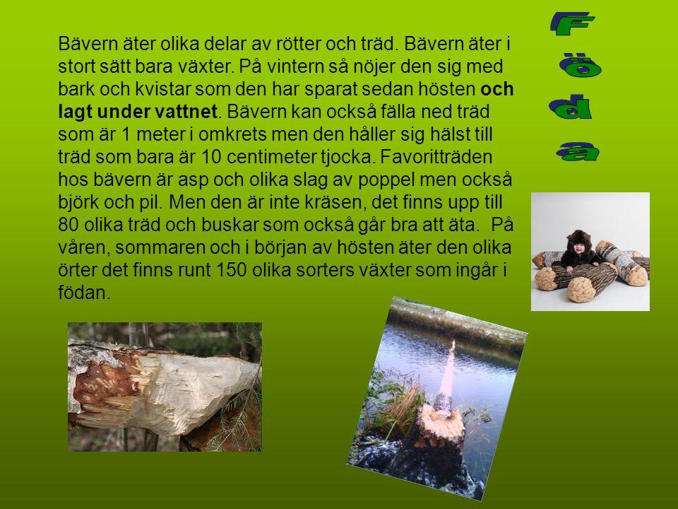 Bävern äter olika delar av rötter och träd