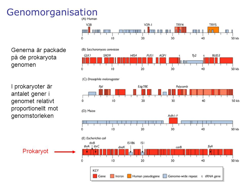 Genomorganisation Generna är packade på de prokaryota genomen
