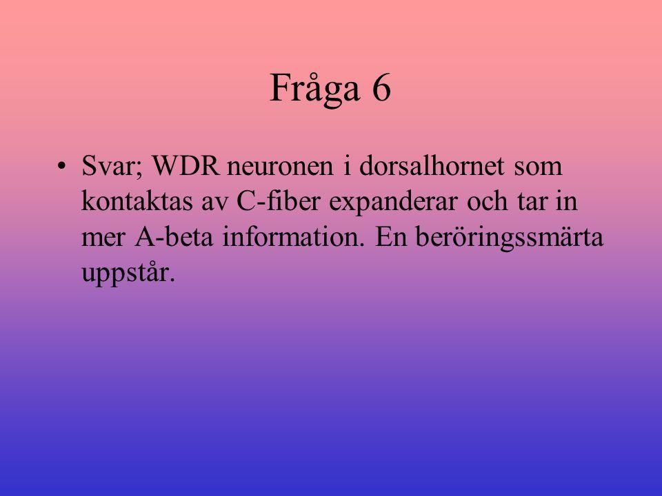 Fråga 6 Svar; WDR neuronen i dorsalhornet som kontaktas av C-fiber expanderar och tar in mer A-beta information.