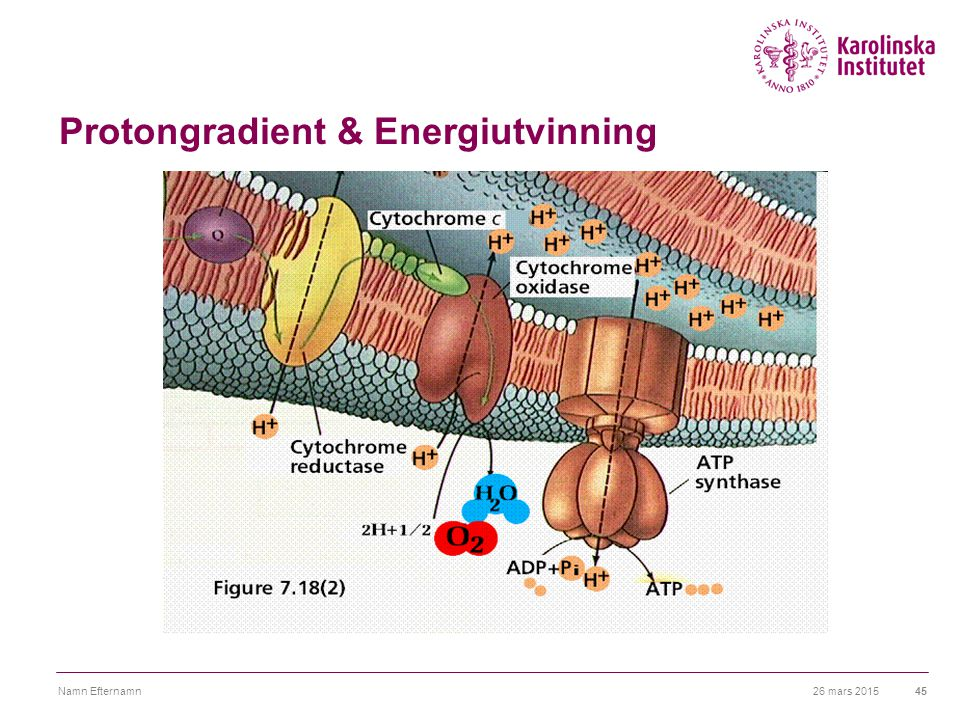 Protongradient & Energiutvinning