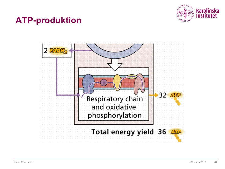 ATP-produktion 3 ATP från varje NADH + H+ 2 ATP från varje FADH2