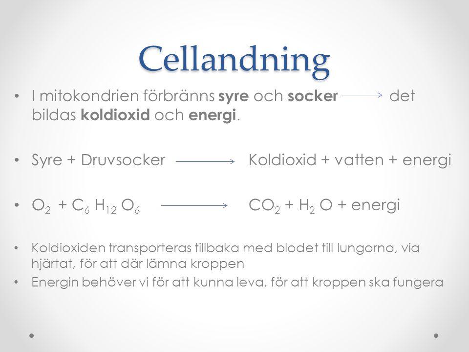 Cellandning I mitokondrien förbränns syre och socker det bildas koldioxid och energi. Syre + Druvsocker Koldioxid + vatten + energi.